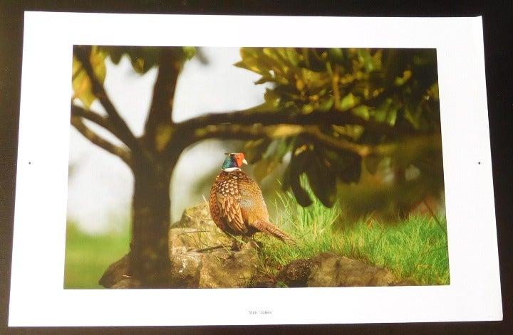 Common Pheasant Color Photo Wall Art