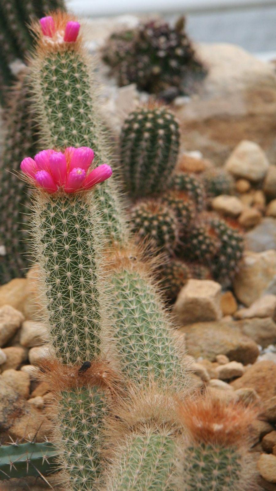 100 Arrojadoa aureispina cactus seeds