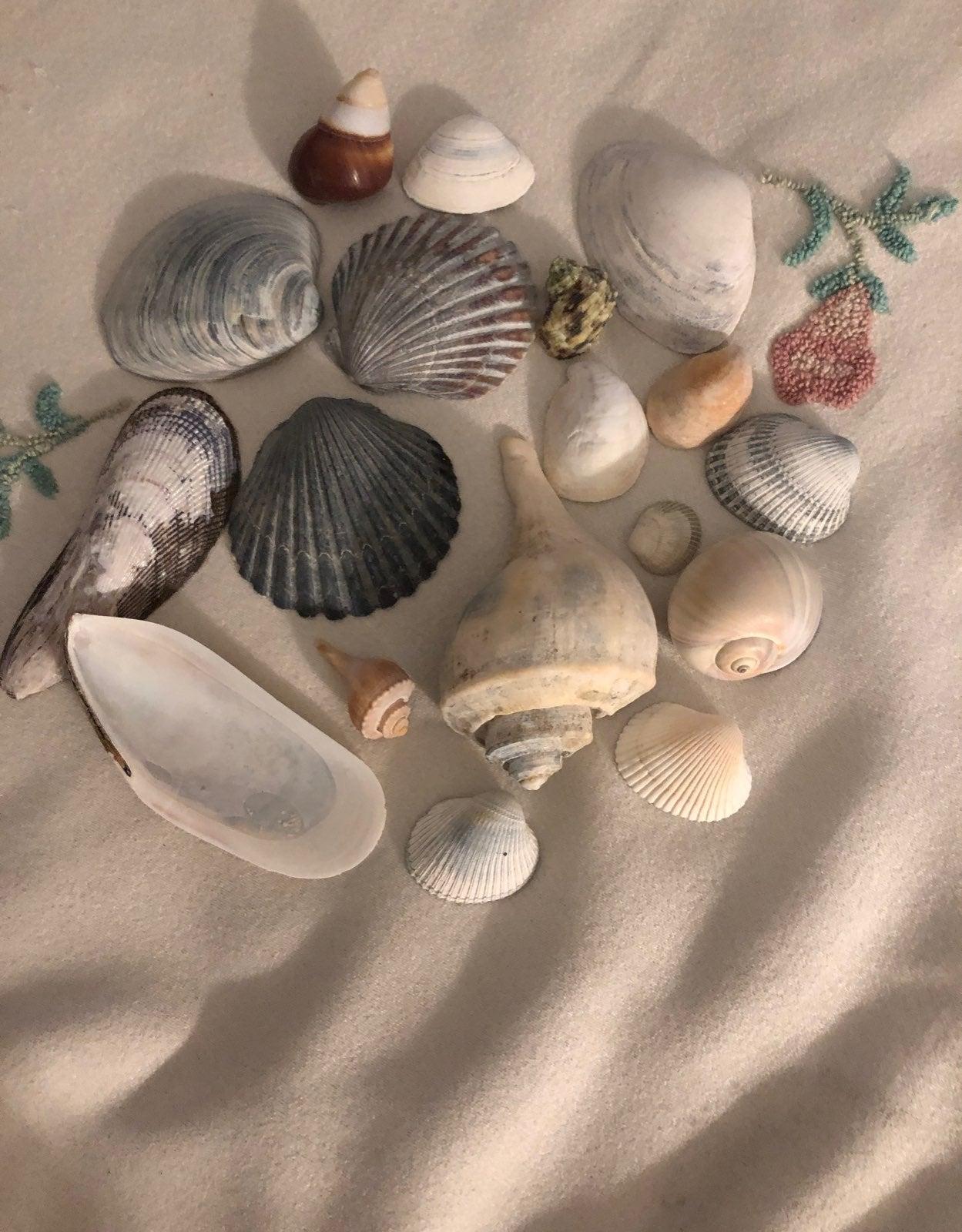 Seashells asst east coast clean