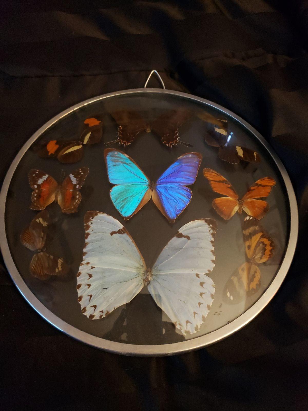 Taxidermy Beautiful Butterflies