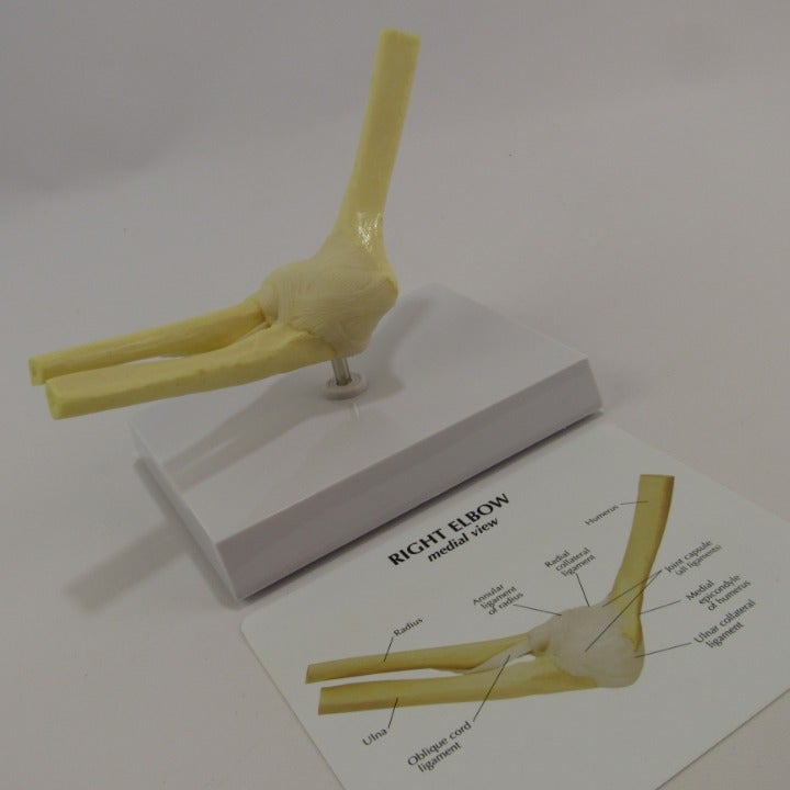 Right Elbow Science Model Anatomy Bones