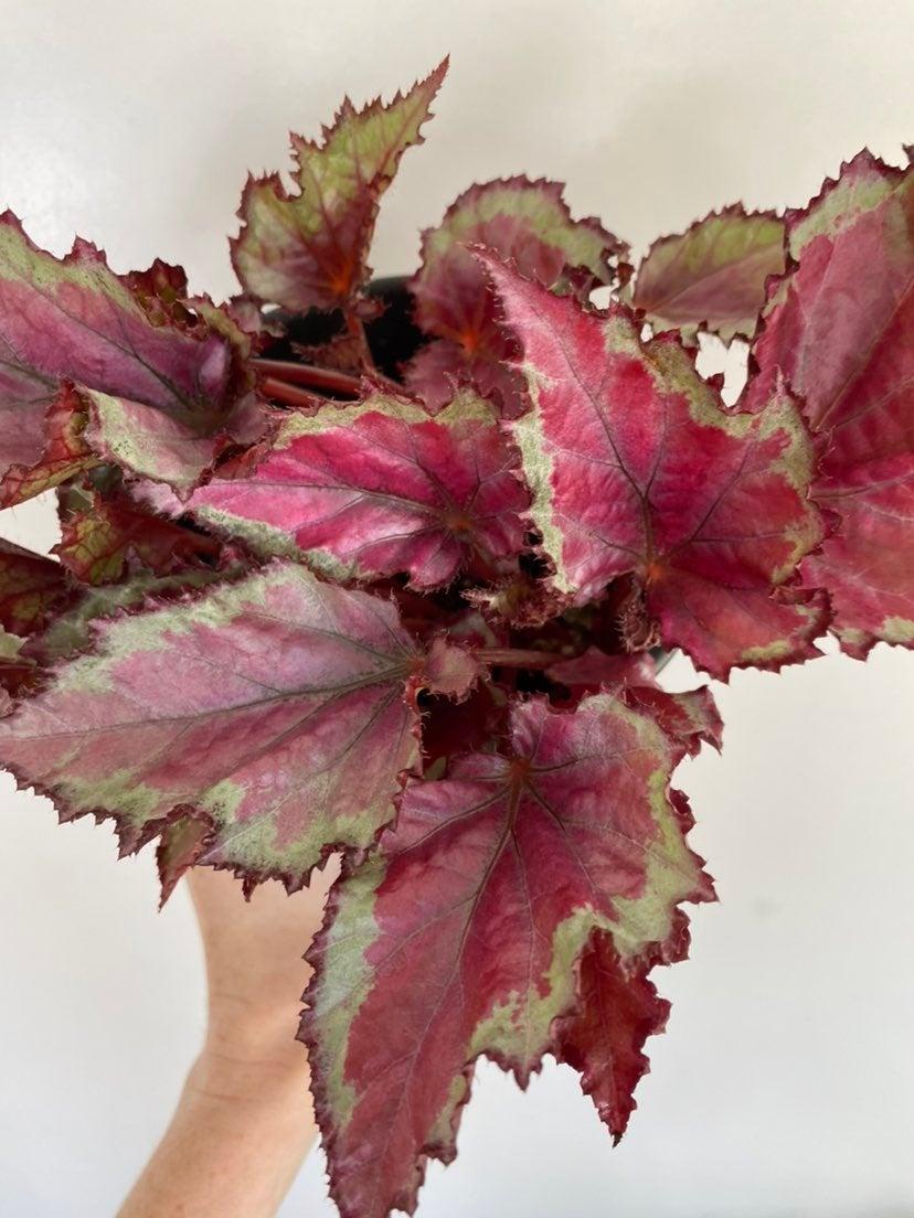 Begonia Rex in Pot