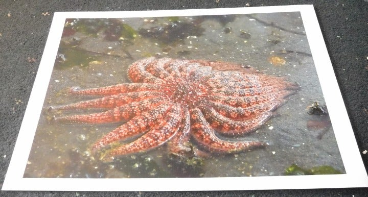 Starfish Sunflower Sea Star Wall Art