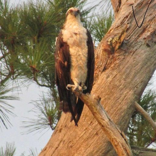 Gorgeous Osprey photo