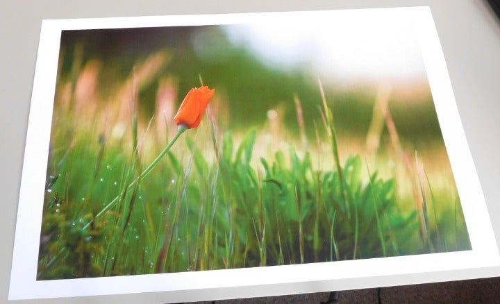 Rose in Landscape Color Photo Print Wall