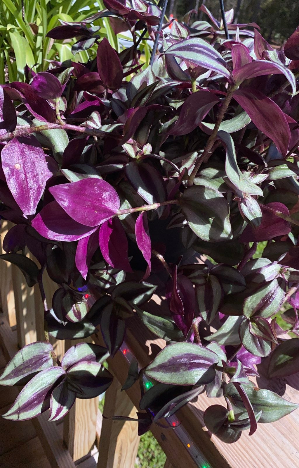 Wandering jew beautiful hanging plant