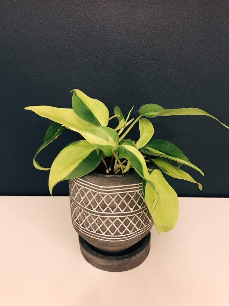 "3.5"" Philodendron Brasil"